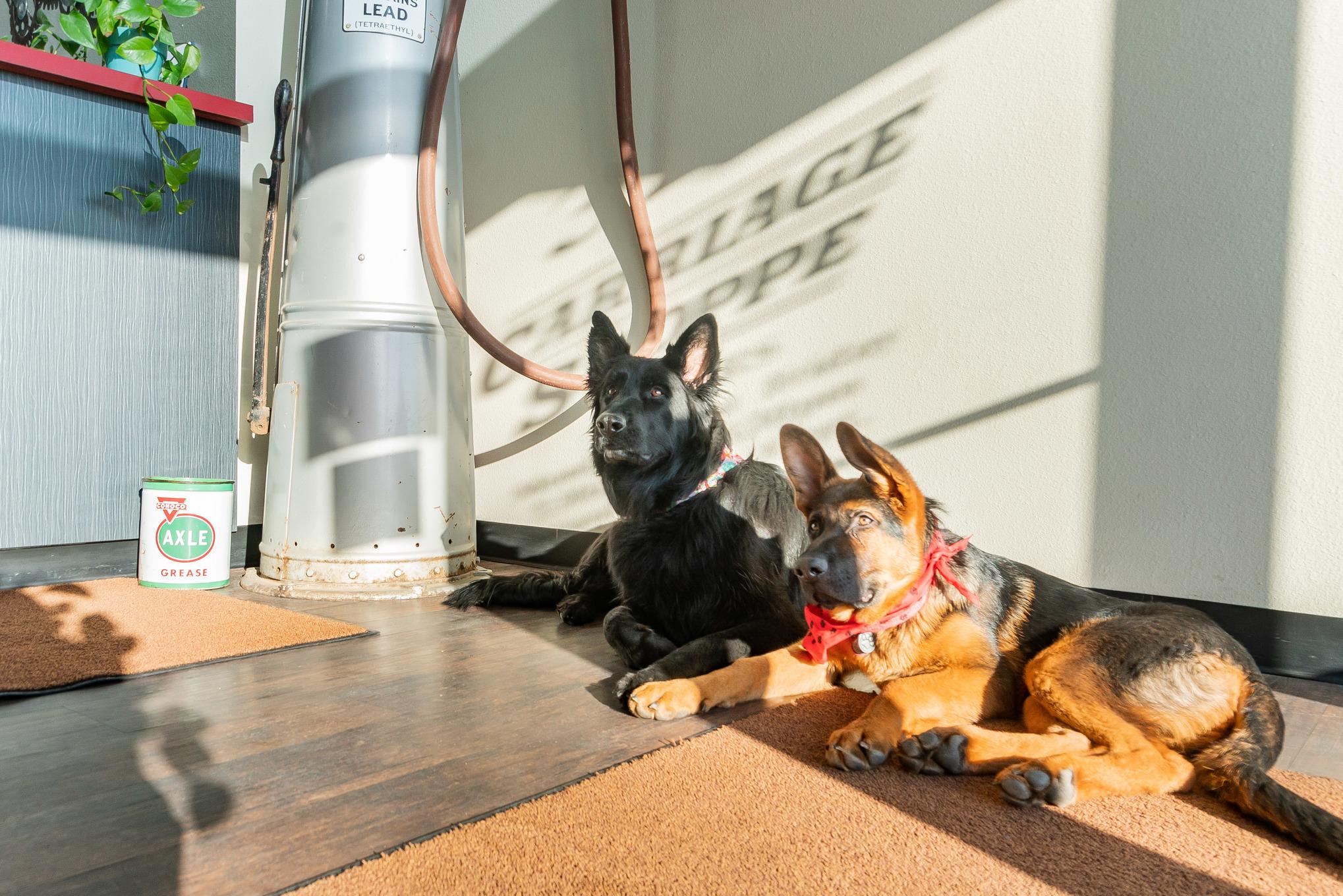 collision repair dogs